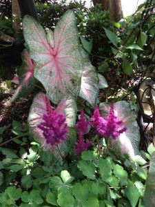 caladiums and astilbe
