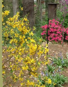 Forsythia and Birdhouse